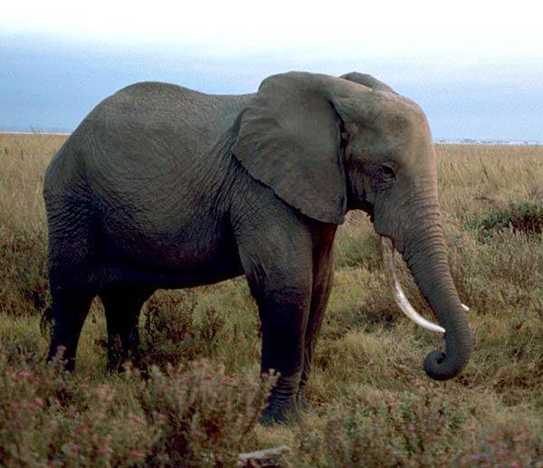 Why elephants have fla...