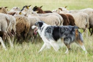 Border collie working the flock