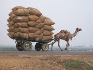 Camel pulling overloaded cart